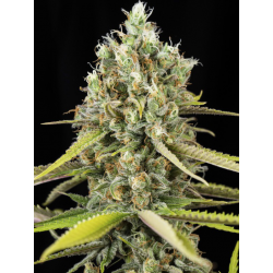 Lemon King | Feminised, Indoor & Outdoor