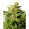 BCN Diesel CBD | Feminised, Indoor & Outdoor