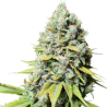 Kosher Haze | Feminised, Indoor & Outdoor