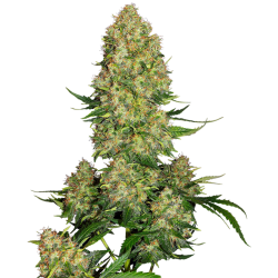 Skunk Nr. 1 Automatic | Feminised, Auto, Indoor & Outdoor
