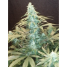 CBD #1 | Feminised, Indoor & Outdoor