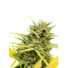 Very Cherry Berry | Feminised, Indoor & Outdoor