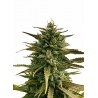 Rocky Mountain Berry | Feminised, Indoor & Outdoor