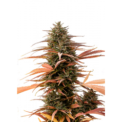 Strawberry Cake | Feminised, Indoor & Outdoor