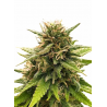 Super Silver CBD | Feminised, Indoor & Outdoor