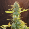 Fat Banana Automatic | Feminised, Auto, Indoor & Outdoor
