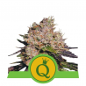 Purple Queen Automatic | Feminised, Auto, Indoor & Outdoor