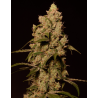 Sunset Sherbert | Feminised, Indoor & Outdoor