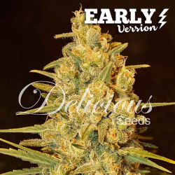 Critical Sensi Star Early Version | Feminised, Indoor & Outdoor