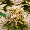 Harlequeen THC Free (CBD) | Feminised, Indoor & Outdoor