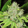 Original Glue | Feminised, Indoor & Outdoor