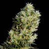Amnesia Bilbo Auto | Feminised, Auto, Indoor & Outdoor