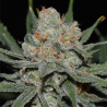 Nevil Bilbo Auto | Feminised, Auto, Indoor & Outdoor