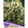 Chemdog | Feminised, Indoor & Outdoor