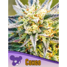 Congo, Landraces | Feminised, Indoor & Outdoor