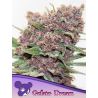 Gelato Dream | Feminised, Indoor & Outdoor