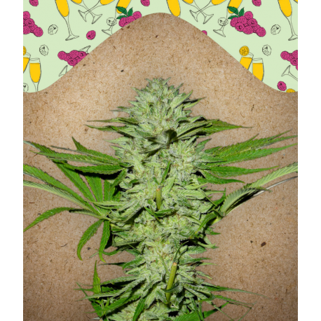 Mimosa Champagne | Feminised, Indoor & Outdoor