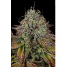 Apricot Candy | Feminised, Indoor & Outdoor
