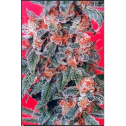 Orange Bud | Indoor & Outdoor