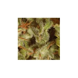 Collection Pack Sativa Champions | Feminised, Indoor & Outdoor