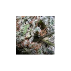Collection Pack Indica Champions | Feminised, Indoor & Outdoor